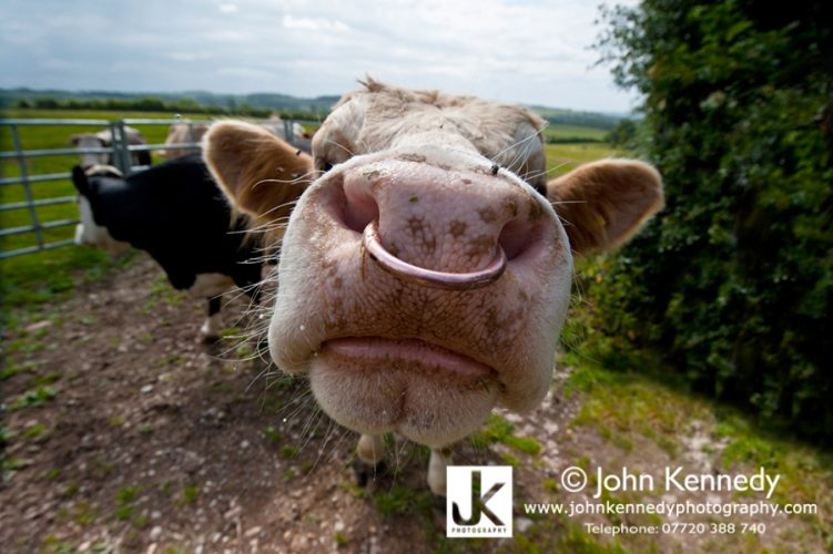 An inquisitive bull with a nose ring, up close and personal.